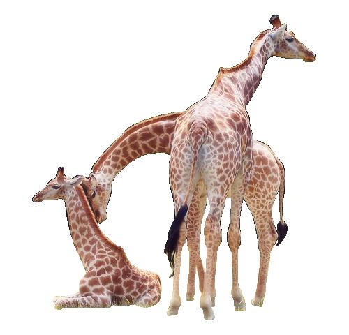 tube girafe